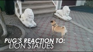 Cute Pug's Reaction To: Lion Statues