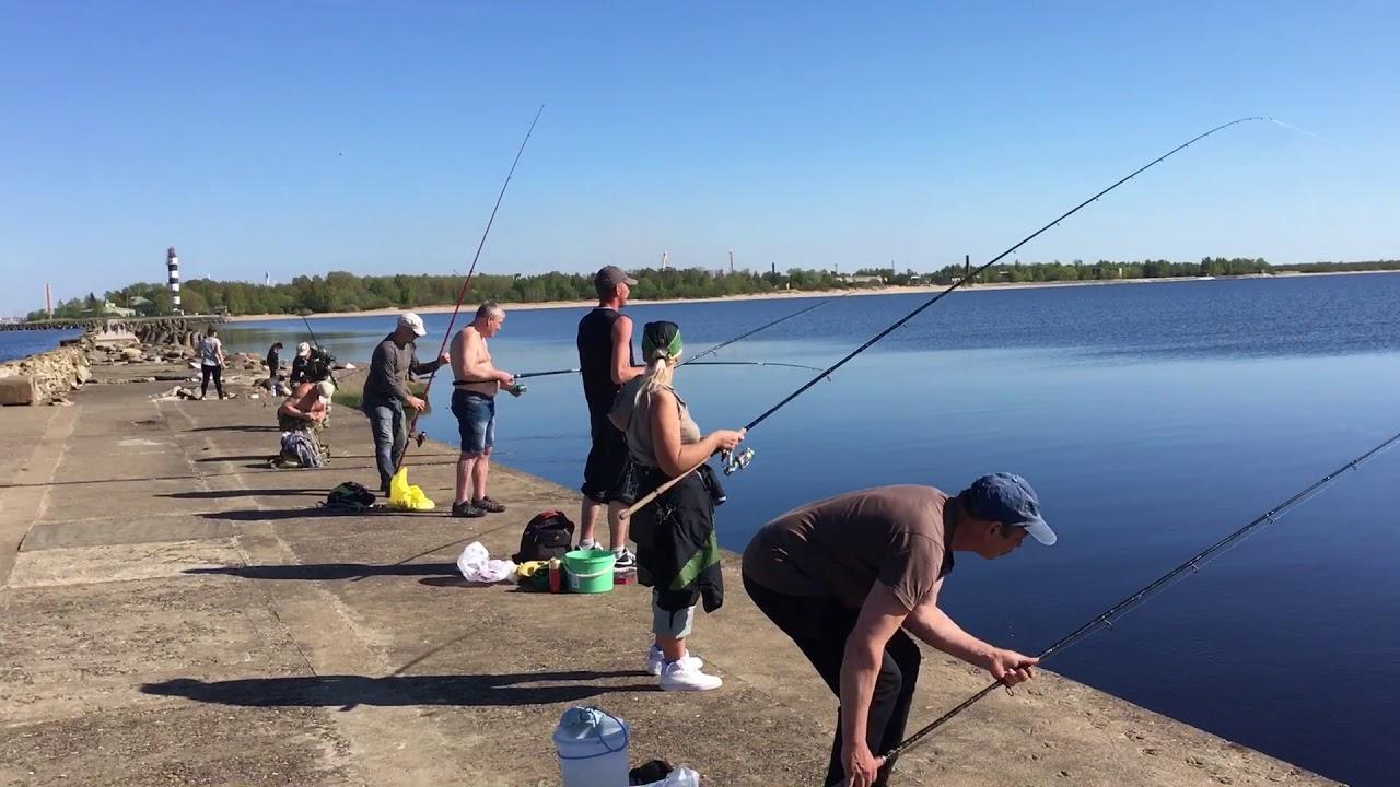Рыбалка в Латвии , ловля салаки на маяке в мае , каждый заброс рыба