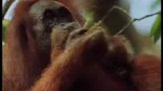 BBC Wild Nature: Sumatra, Orangutan Sanctuary - Indonesian Fire Islands