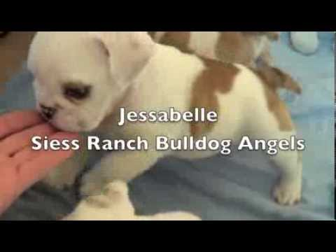Sophie And Bubba's 6 Week Old English Bulldog Babies