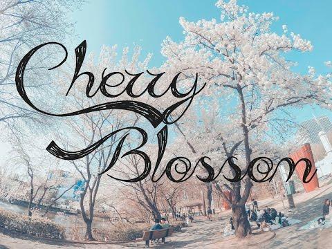 Cherry Blossom (벚꽃)- Seoultech - Seoul, Korea by HungTan