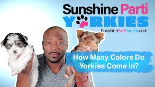 How Many Colors Do Parti Yorkies Come in? (The Most Popular and Rare Colors)