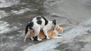 Cats mating - Best cat mating