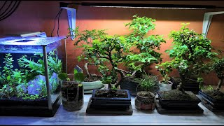 INDOOR BONSAI SETUP - How I care for my indoor bonsai trees