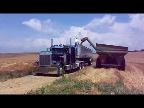 Mennonite Horst Sisters Harvesting Wheat 2013 Kinsinger Farm