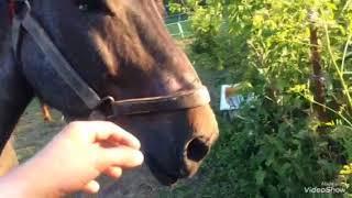 Бельгийская тяжеловозная  порода лошади