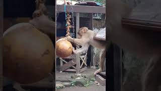 Cara melatih beruk petik kelapa oleh budi