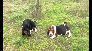 щенки бассет-хаунда,бассет хаунд щенки,basset hound puppies