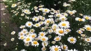 Супер цветок -  любимец многих огородников...
