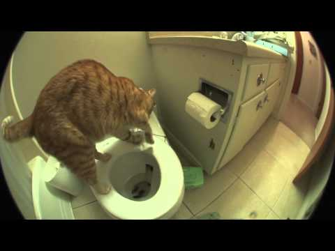 Marmalade The Cat Uses The Toilet And Flushes When He Is Done!!