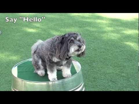 Dog Trick Resume - Jasmine the Havanese