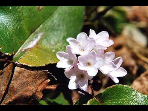 La Légende de la Fleur de mai