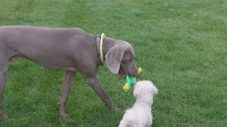 Bichon Pepper & Weimaraner Sebastian Legging It.