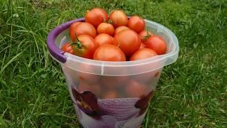Как собрать семена помидоров  в домашних условиях? Как заготовить свои семена томатов.