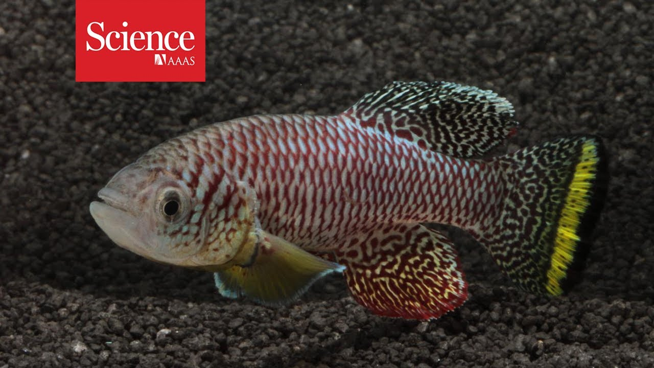 African killifish embryos enter suspended animation to survive thumbnail