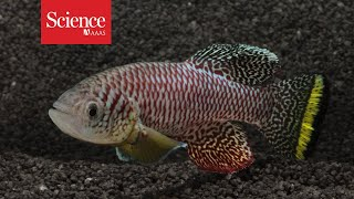 African killifish embryos enter suspended animation to survive