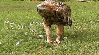 орёл могильник (3)