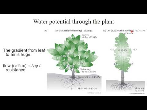 Week 2  1 Water potential  How water moves in plants