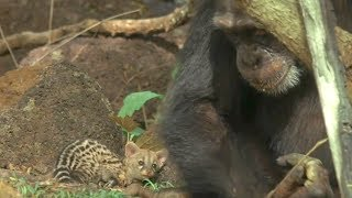 Wild Chimp adopts Pet Kiitten