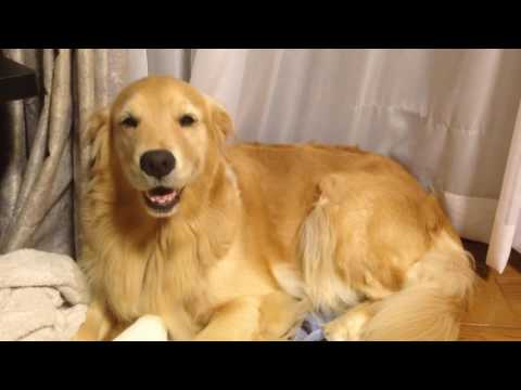 The golden retriever Alia  smiled
