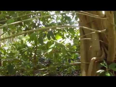 Ficus altissima 'variegata'