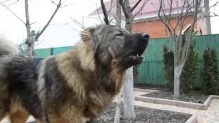 Каказская овчарка - голос