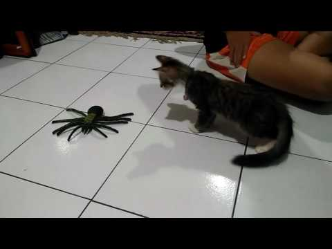 Penasaran laba-laba