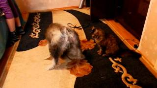 кошка дерет собаку