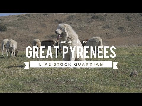 great-pyrenees:-livestock-guardian-in-action