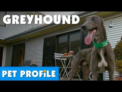 Greyhound Pet Profile   Bondi Vet