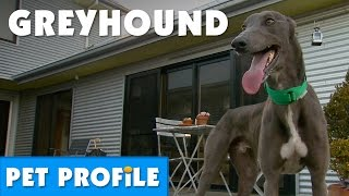 Greyhound Pet Profile | Bondi Vet