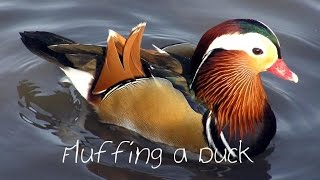 Gambar cover Fluffing a Duck - Kevin MacLeod {Minilodies}