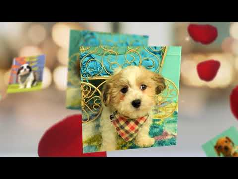PUPPIES FOR SALE LONG ISLAND NY NYC NJ CT MANHATTAN STATEN ISLAND USA  1080p
