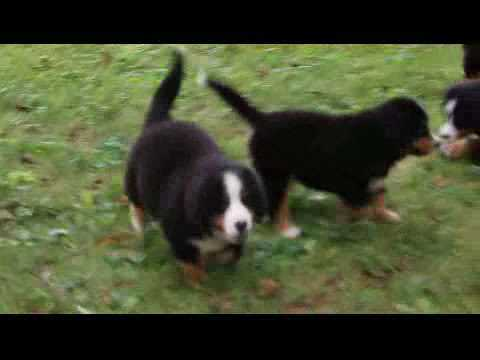 Bernese Mountain Dog Puppies For Sale Cleason Martin