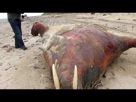 Выброшенный морж, Белое море.