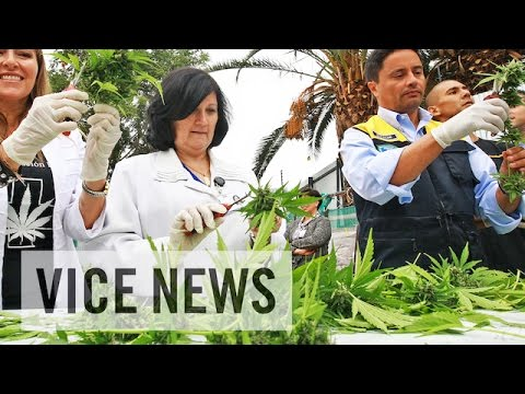 VICE News Daily: Chile's First Legal Crop of Medical Marijuana Harvested