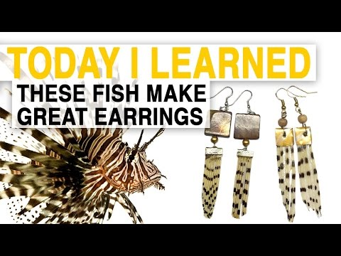 TIL: Lionfish Jewelry Can Help Save the Ocean | Today I Learned