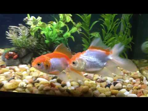 Goldfish Mating