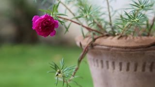 How to Grow and Care for Blooming Moss Roses (Urdu/hindi)