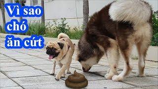 Chắc chắn bạn không biết: Vì sao chó ăn cứt? Chó Alaska, chó Pug có ăn cứt không? PUGK