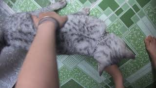 meo scottish silver tabby