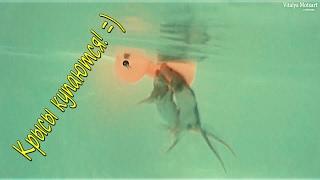 Крысы купаются