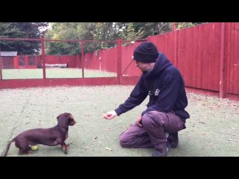 How to stop your Dachshunds excessive barking