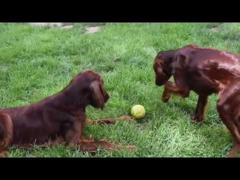 Download Irish Setters at Puppies in Paradise