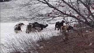 Хибины com стая собак на Новом Плато в Мурманске