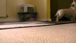 Cairn Terrier Dogs - Best Video - Howling Like Wolves