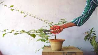 How to Pruning Bougainvillea Bonsai  | Care & Tips // Mammal Bonsai