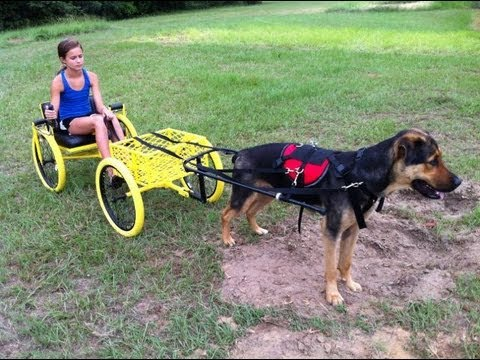 The BumbleBee, a dog powered wagon