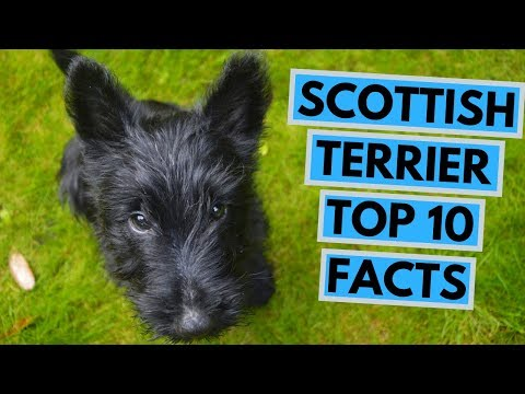 Scottish Terrier - TOP 10 Interesting Facts