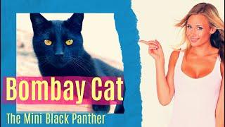 Bombay Cat – The Mini Black Panther